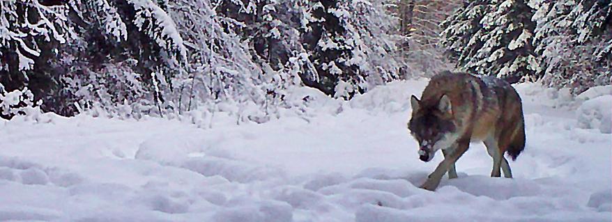 Prywatne życie ssaków w Roztoczańskim Parku Narodowym
